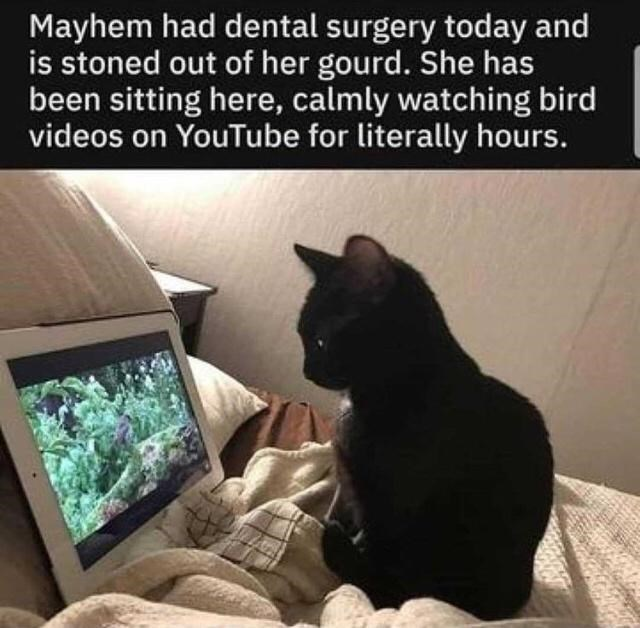Cat - Mayhem had dental surgery today and is stoned out of her gourd. She has been sitting here, calmly watching bird videos on YouTube for literally hours.