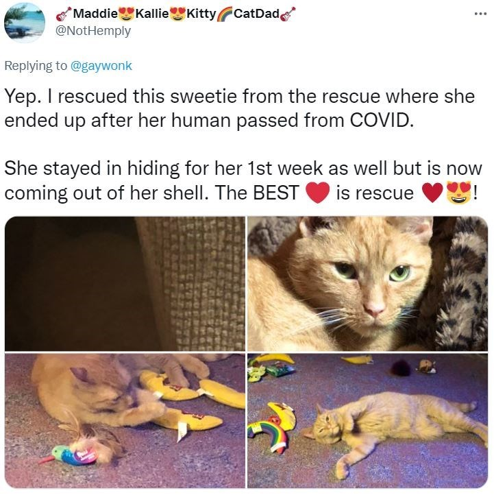 Cat - *Maddie KallieKittyCatDad, @NotHemply ... Replying to @gaywonk Yep. I rescued this sweetie from the rescue where she ended up after her human passed from COVID. She stayed in hiding for her 1st week as well but is now coming out of her shell. The BEST is rescue