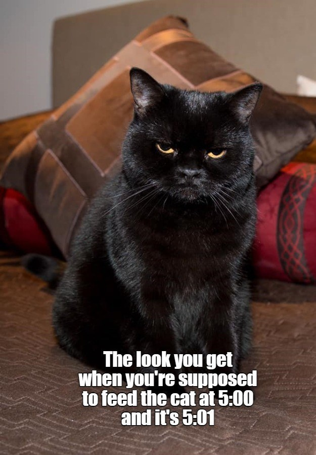 Cat - The look you get when you're supposed to feed the cat at 5:00 and it's 5:01