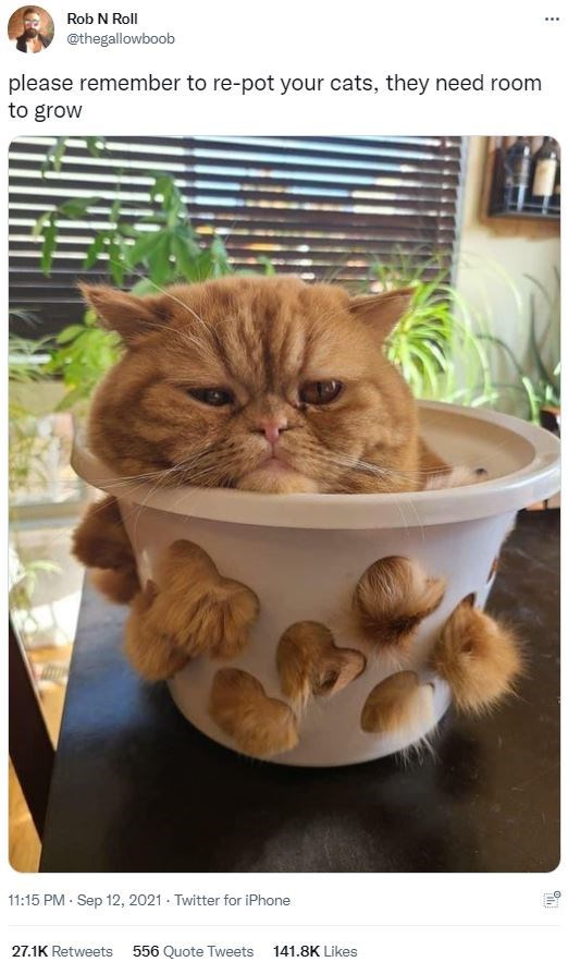 Cat - Rob N Roll @thegallowboob please remember to re-pot your cats, they need room to grow 11:15 PM · Sep 12, 2021 · Twitter for iPhone 27.1K Retweets 556 Quote Tweets 141.8K Likes