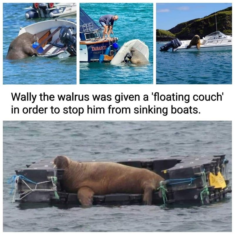 Water - TARASCO FALMO Wally the walrus was given a 'floating couch' in order to stop him from sinking boats.