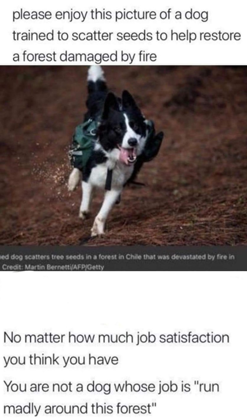 """Dog - please enjoy this picture of a dog trained to scatter seeds to help restore a forest damaged by fire ed dog scatters tree seeds in a forest in Chile that was devastated by fire in Credit: Martin Bernetti(AFPIGetty No matter how much job satisfaction you think you have You are not a dog whose job is """"run madly around this forest"""""""