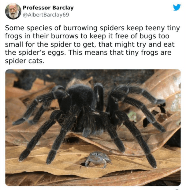 Insect - Professor Barclay @AlbertBarclay69 Some species of burrowing spiders keep teeny tiny frogs in their burrows to keep it free of bugs too small for the spider to get, that might try and eat the spider's eggs. This means that tiny frogs are spider cats.
