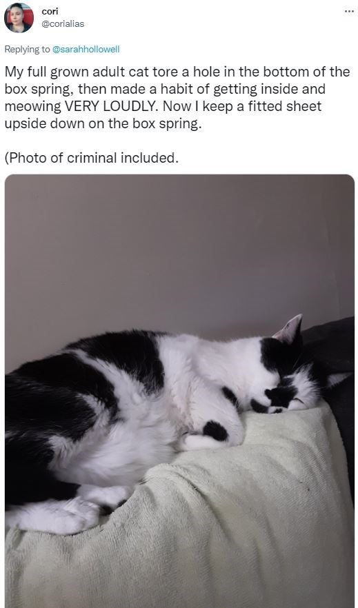 Cat - cori ... @corialias Replying to @sarahhollowell My full grown adult cat tore a hole in the bottom of the box spring, then made a habit of getting inside and meowing VERY LOUDLY. Now I keep a fitted sheet upside down on the box spring. (Photo of criminal included.