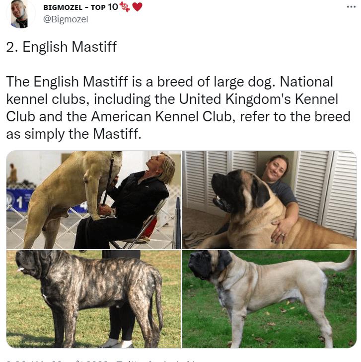 Dog - BIGMOZEL - TOP 10 @Bigmozel 2. English Mastiff The English Mastiff is a breed of large dog. National kennel clubs, including the United Kingdom's Kennel Club and the American Kennel Club, refer to the breed as simply the Mastiff.