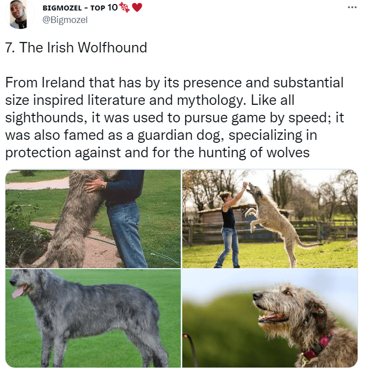 Dog - BIGMOZEL - TOP 10 .. @Bigmozel 7. The Irish Wolfhound From Ireland that has by its presence and substantial size inspired literature and mythology. Like all sighthounds, it was used to pursue game by speed; it was also famed as a guardian dog, specializing in protection against and for the hunting of wolves