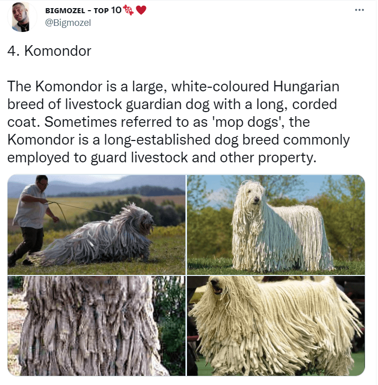 Ecoregion - BIGMOZEL - TOP 10 @Bigmozel 4. Komondor The Komondor is a large, white-coloured Hungarian breed of livestock guardian dog with a long, corded coat. Sometimes referred to as 'mop dogs', the Komondor is a long-established dog breed commonly employed to guard livestock and other property.