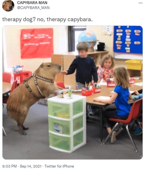 Table - CAPYBARA MAN ... @CAPYBARA_MAN therapy dog? no, therapy capybara. 9:03 PM - Sep 14, 2021 - Twitter for iPhone