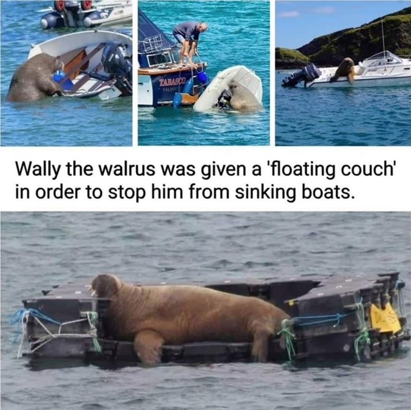 Water - TABASCO FALM Wally the walrus was given a 'floating couch' in order to stop him from sinking boats.