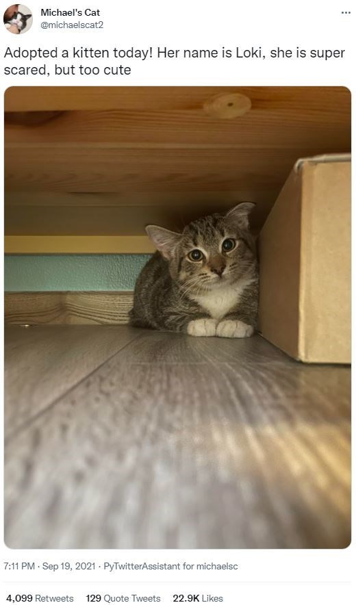 Brown - Michael's Cat ... @michaelscat2 Adopted a kitten today! Her name is Loki, she is super scared, but too cute 7:11 PM · Sep 19, 2021 - PyTwitterAssistant for michaelsc 4,099 Retweets 129 Quote Tweets 22.9K Likes