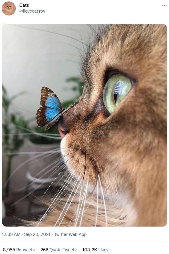 Photograph - Cats ... @ilovecatstw 12:33 AM - Sep 20, 2021 - Twitter Web App 8,955 Retweets 266 Quote Tweets 103.2K Likes