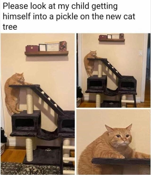 Cat - Please look at my child getting himself into a pickle on the new cat tree