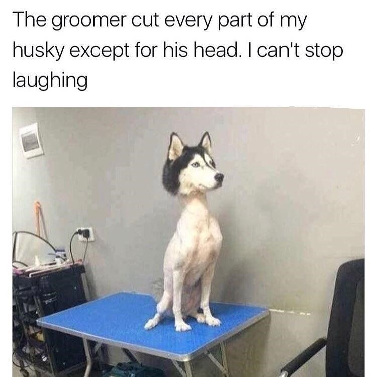 Dog - The groomer cut every part of my husky except for his head. I can't stop laughing