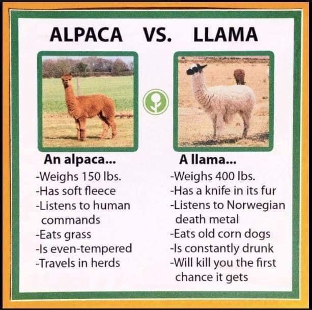 Vertebrate - ALPACA VS. LLAMA Vs. An alpaca... -Weighs 150 lbs. -Has soft fleece A llama... -Weighs 400 lbs. -Has a knife in its fur -Listens to Norwegian death metal -Eats old corn dogs -Is constantly drunk -Will kill you the first chance it gets -Listens to human commands -Eats grass -Is even-tempered -Travels in herds