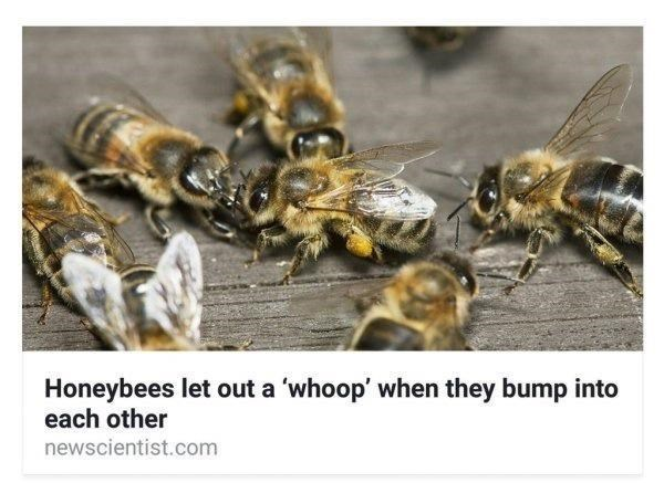 Pollinator - Honeybees let out a 'whoop' when they bump into each other newscientist.com