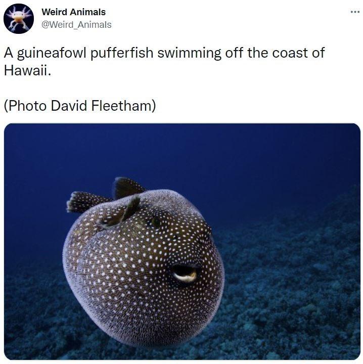 Vertebrate - Weird Animals ... @Weird Animals A guineafowl pufferfish swimming off the coast of Hawaii. (Photo David Fleetham)