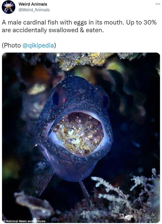 Photograph - Weird Animals @Weird_Animals A male cardinal fish with eggs in its mouth. Up to 30% are accidentally swallowed & eaten. (Photo @qikipedia) O National News and Pictures