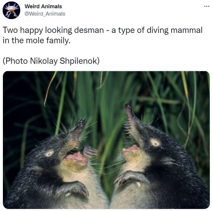 Photograph - Weird Animals ... @Weird Animals Two happy looking desman - a type of diving mammal in the mole family. (Photo Nikolay Shpilenok)