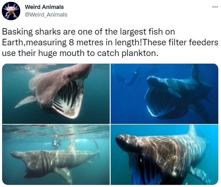 Photograph - Weird Animals @Weird_Animals Basking sharks are one of the largest fish on Earth,measuring 8 metres in length!These filter feeders use their huge mouth to catch plankton.