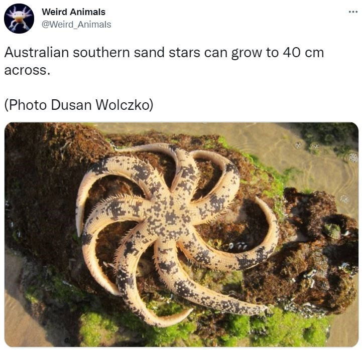 Organism - Weird Animals @Weird Animals Australian southern sand stars can grow to 40 cm across. (Photo Dusan Wolczko)