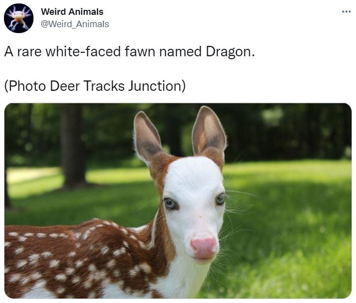 Dog - Weird Animals @Weird_Animals A rare white-faced fawn named Dragon. (Photo Deer Tracks Junction)