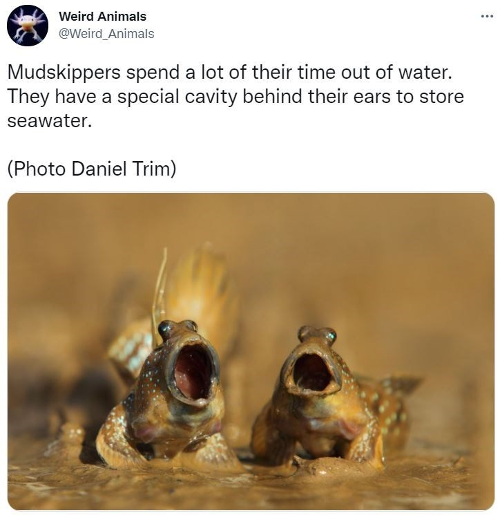 Vertebrate - Weird Animals @Weird Animals Mudskippers spend a lot of their time out of water. They have a special cavity behind their ears to store seawater. (Photo Daniel Trim)
