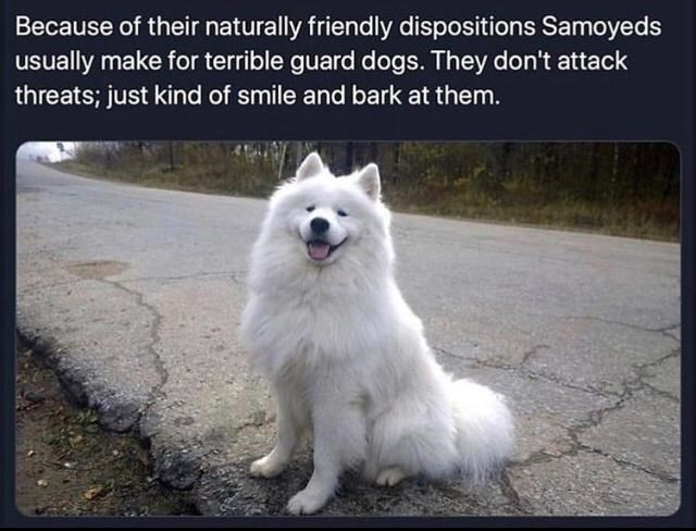 Dog - Because of their naturally friendly dispositions Samoyeds usually make for terrible guard dogs. They don't attack threats; just kind of smile and bark at them.