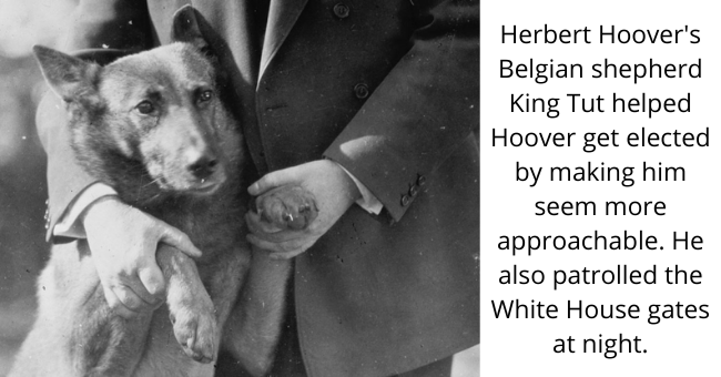Dog - Herbert Hoover's Belgian shepherd King Tut helped Hoover get elected by making him seem more approachable. He also patrolled the White House gates at night.