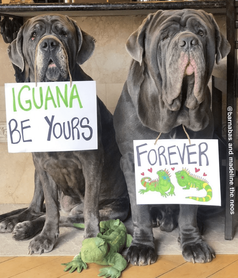 Dog - IGUANA BE YOURS FOREVER @barnabas. and. madeline. the. neos