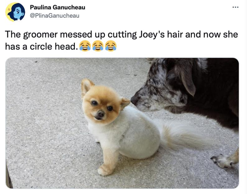 Cat - Paulina Ganucheau @PlinaGanucheau The groomer messed up cutting Joey's hair and now she has a circle head. ee
