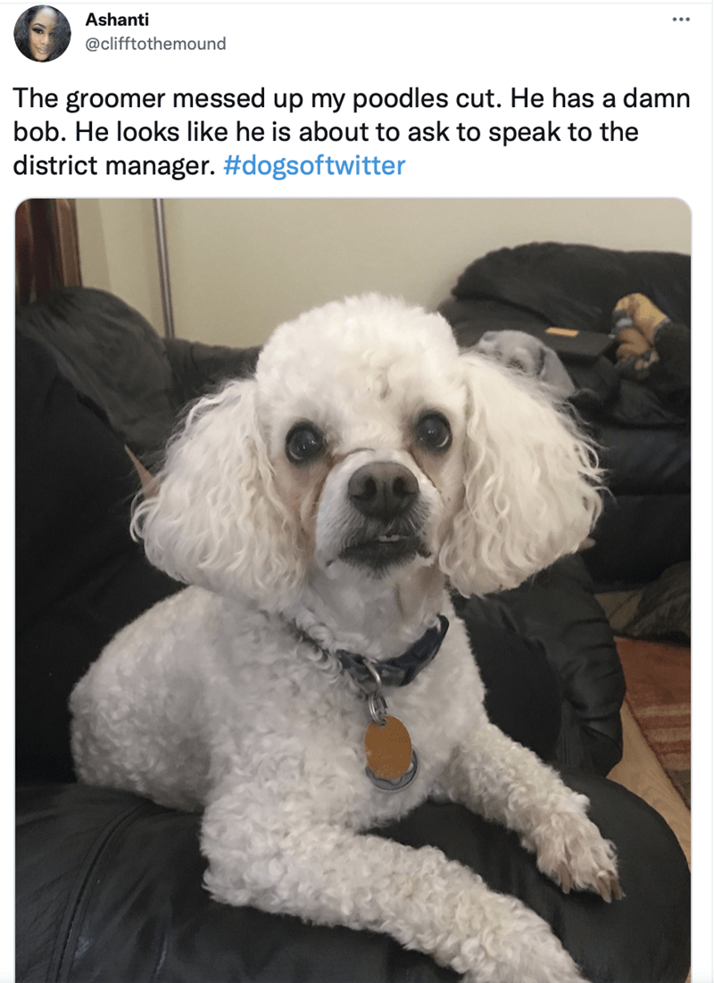 Dog - Ashanti @clifftothemound The groomer messed up my poodles cut. He has a damn bob. He looks like he is about to ask to speak to the district manager. #dogsoftwitter