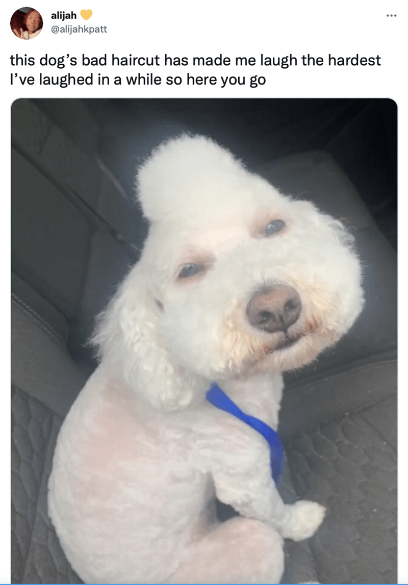 Dog - alijah @alijahkpatt this dog's bad haircut has made me laugh the hardest I've laughed in a while so here you go