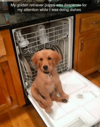 Dog - My golden retriever puppy was desperate for my attention while I was doing dishes