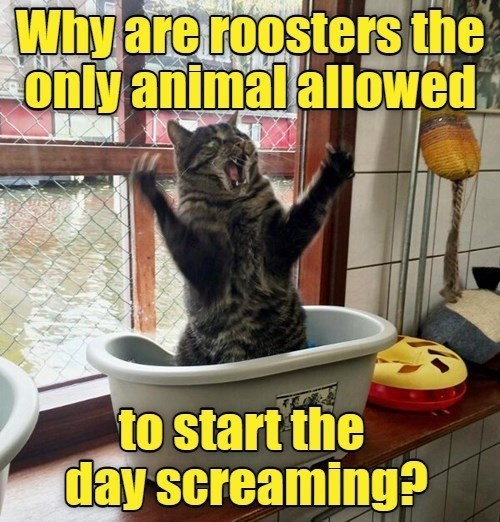 Cat - Why are roosters the only animal allowed to start the day screaming?