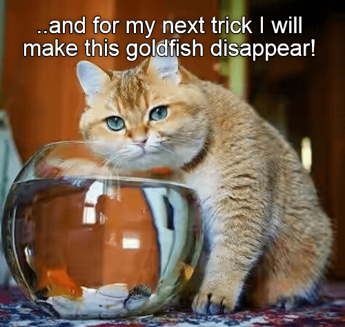 Cat - ..and for my next trick I will make this goldfish disappear!