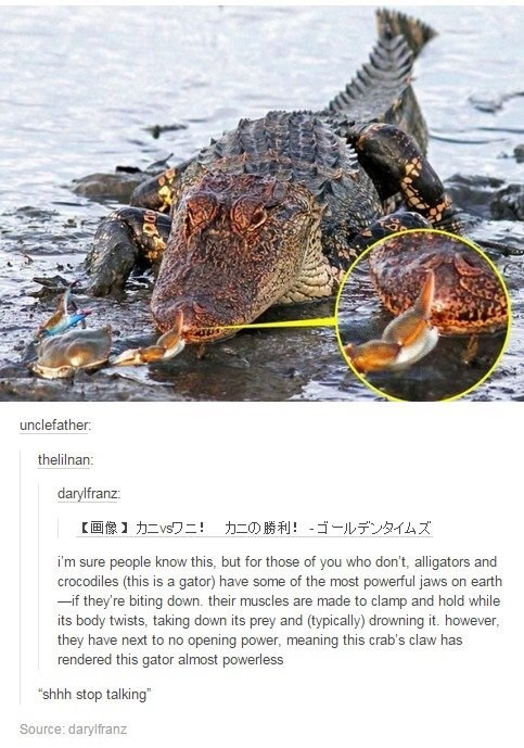 """Water - unclefather. thelilnan: darylfranz: 【画像】カニvsワニ! カニの勝利! - ゴールデンタイムズ i'm sure people know this, but for those of you who don't, alligators and crocodiles (this is a gator) have some of the most powerful jaws on earth -if they're biting down. their muscles are made to clamp and hold while its body twists, taking down its prey and (typically) drowning it. however, they have next to no opening power, meaning this crab's claw has rendered this gator almost powerless """"shhh stop talking"""" Source:"""