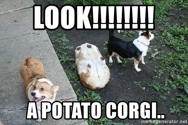Dog - LOOK!!!! A POTATO CORGI. memegenerator.net
