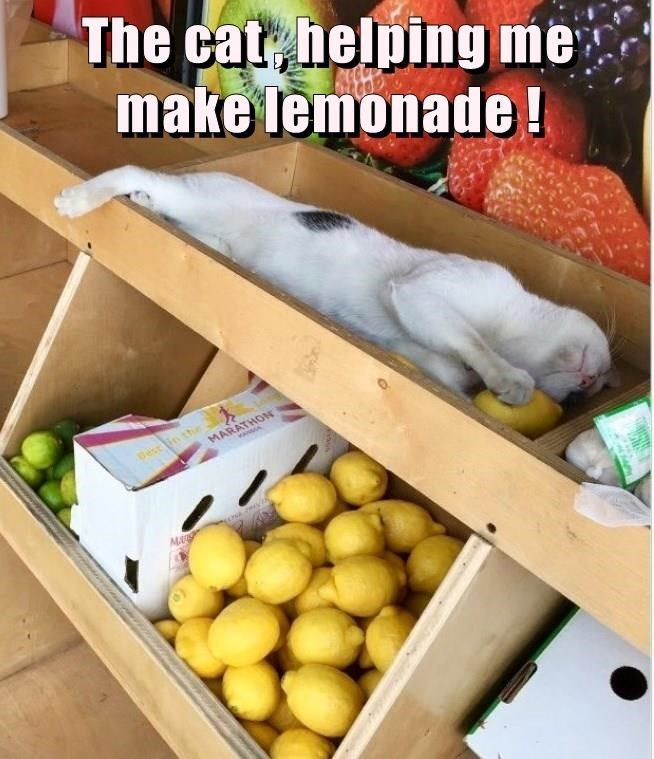 Food - The cat, helping me make lemonade! in the MARATHOM