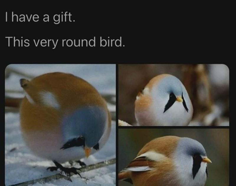 Bird - Thave a gift. This very round bird.