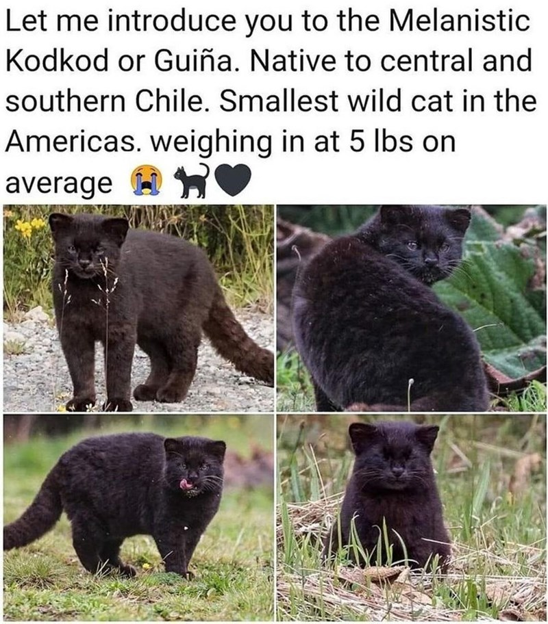 Plant - Let me introduce you to the Melanistic Kodkod or Guiña. Native to central and southern Chile. Smallest wild cat in the Americas. weighing in at 5 lbs on average