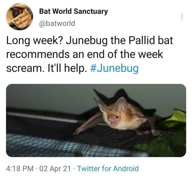 Cat - Bat World Sanctuary Bat World Saneruary @batworld Long week? Junebug the Pallid bat recommends an end of the week scream. It'll help. #Junebug 4:18 PM 02 Apr 21 · Twitter for Android