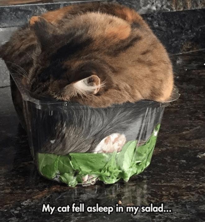Carnivore - My cat fell asleep in my salad..