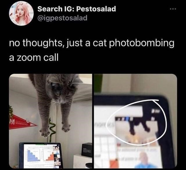 Cat - Search IG: Pestosalad @igpestosalad thoughts, just a cat photobombing no a zoom call M MOORHEAD