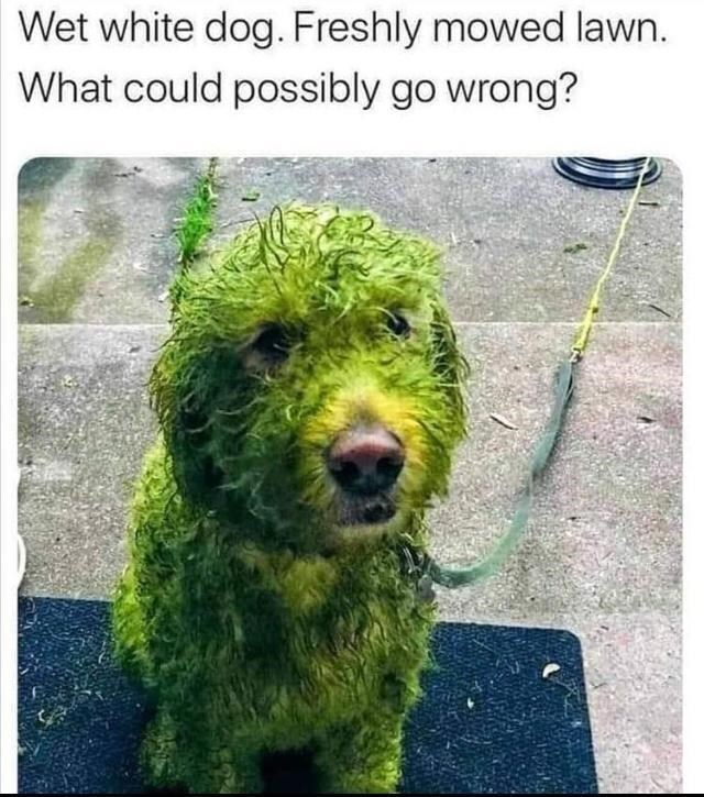 Dog - Wet white dog. Freshly mowed lawn. What could possibly go wrong?