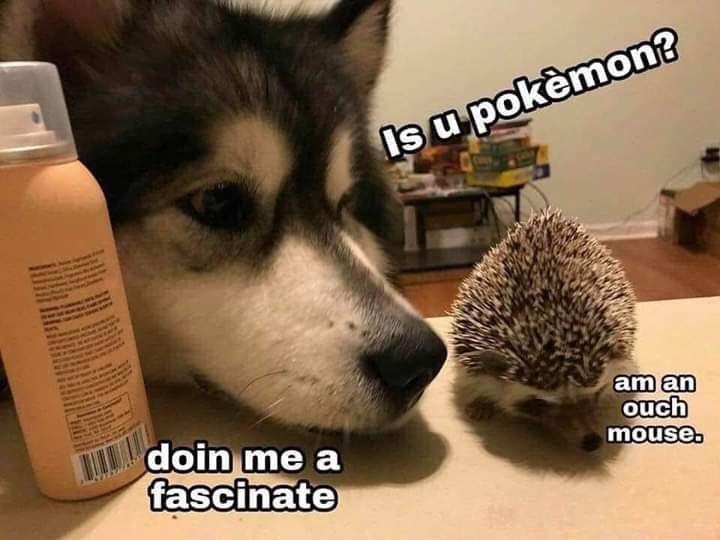 Hedgehog - Is u pokèmon? am an ouch mouse. T doin me a fascinate