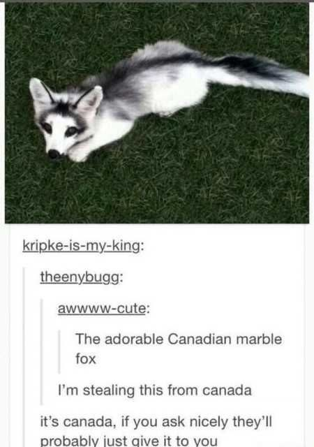 Carnivore - kripke-is-my-king: theenybugg: awwww-cute: The adorable Canadian marble fox I'm stealing this from canada it's canada, if you ask nicely they'll probably just give it to you
