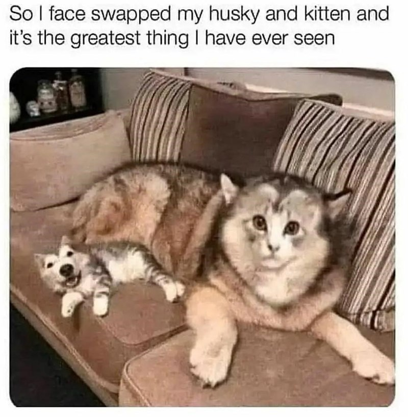 Dog - So I face swapped my husky and kitten and it's the greatest thing I have ever seen