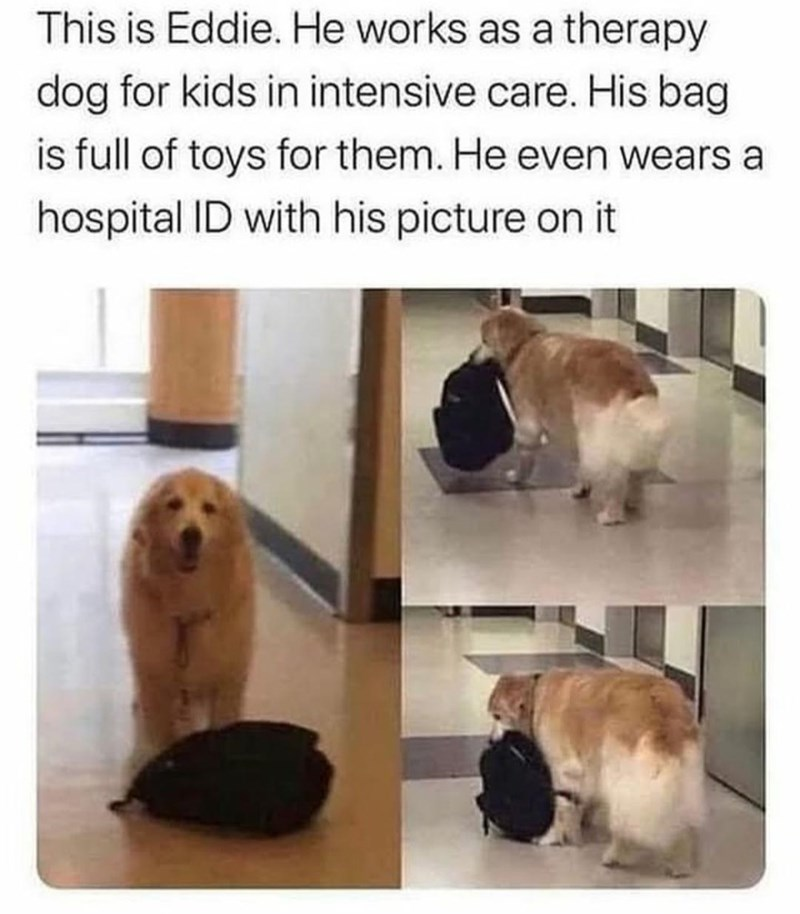 Dog - This is Eddie. He works as a therapy dog for kids in intensive care. His bag is full of toys for them. He even wears a hospital ID with his picture on it