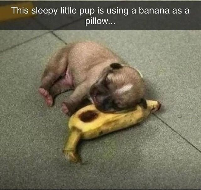 Dog breed - This sleepy little pup is using a banana as a pillow...