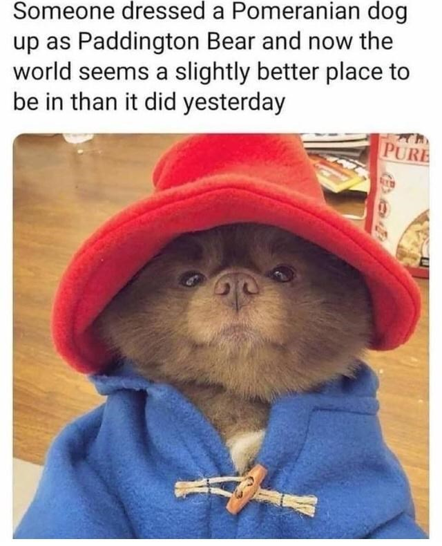 Outerwear - Someone dressed a Pomeranian dog up as Paddington Bear and now the world seems a slightly better place to be in than it did yesterday PURE